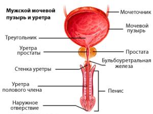 мужсая мочеполовая система
