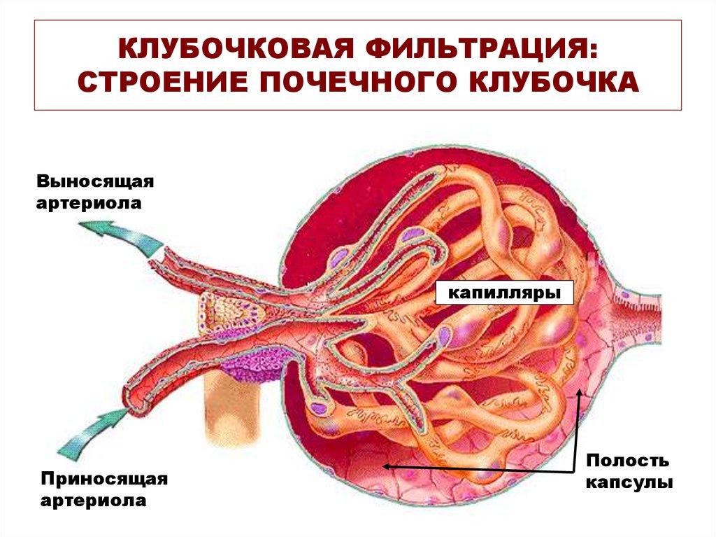 Лечение почек после антибиотиков