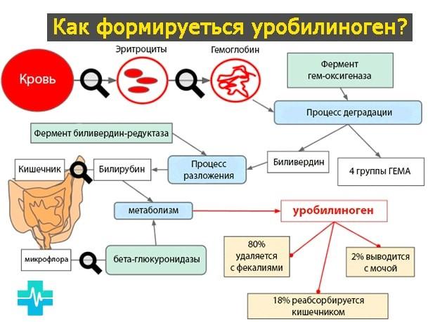 схема образования уробилина