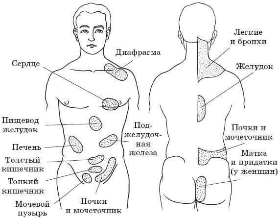 виды органов со спины
