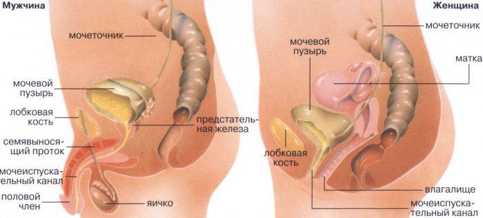 строение органов паха у мужчин и женщин