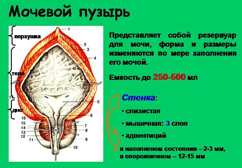 объем органа