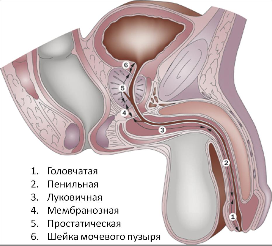 мужская уретра