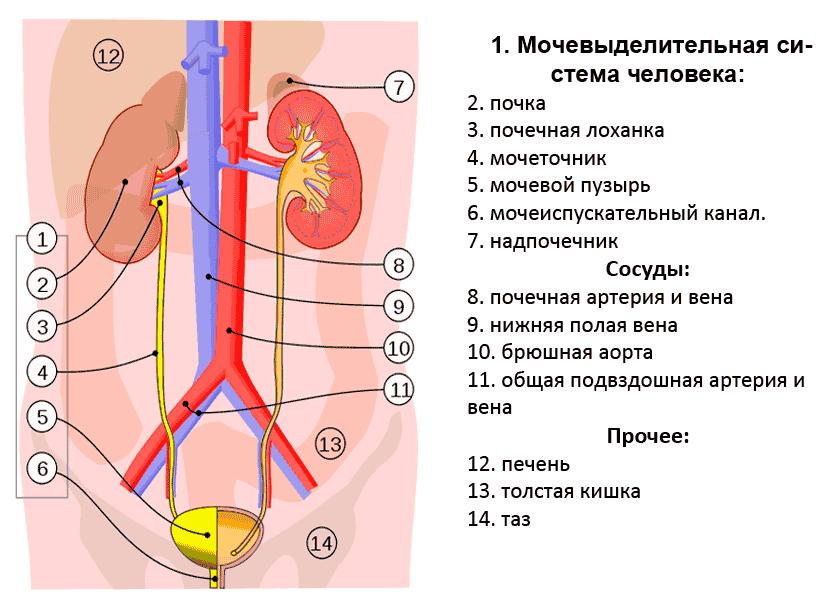 мочеполовая система строение