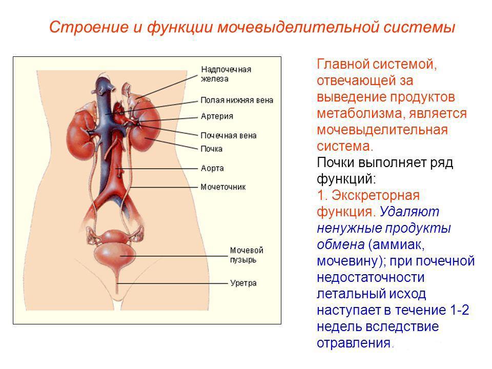 функции мочеполовой системы