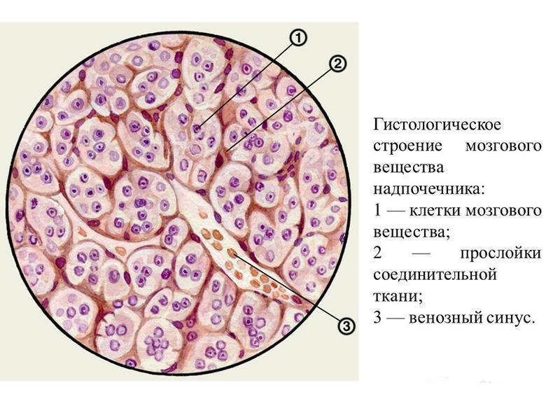 мозговое вещество надпочечников