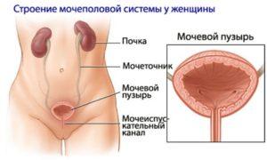 мочеполовая система у женщин